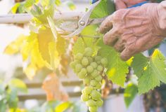Harvester hands cutting ripe grapes on a vineyard. Stock Photo