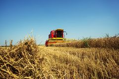 Harvester harvests wheat on field stock photo