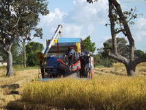 Harvester machine to harvest rice thai. Working. Combine harvester agriculture ripe rice thai Stock Photos