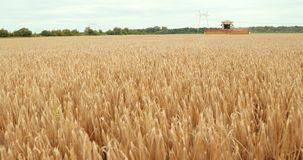 Harvester Machine To Harvest Wheat Field Working. Combine Harvester Agriculture Machine Harvesting Golden Ripe Wheat stock video footage