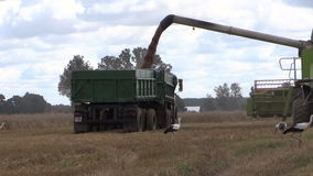 Harvester unloads wheat grain on farmland field background. Combine harvester load wheat grain into truck trailer and stork birds walk around on cloudy day stock footage