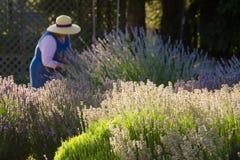 harvesterlavendel Royaltyfri Foto