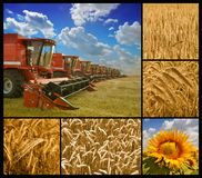 Harvesters, wheat and sunflower. Ready to work - combine harvester and crop details Stock Images