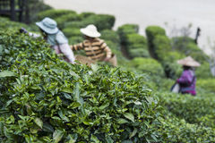 Harvesters working in tea field. De-focus picture of harvesters working in tea field, foreground is tea plant Stock Images