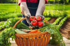 HarvestHands del pomodoro che tengono pomodoro fresco Immagini Stock