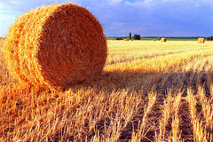 After harvesting. Wheat feald after harvesting. Straw in rolling sheaf Stock Photos
