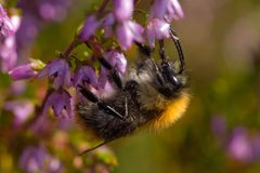 Harvesting. Bee on a heather in sunny summer day Stock Image