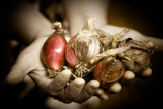 Harvesting. Close up of two hands holding onions bulbs sepia toned picture Royalty Free Stock Image
