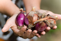 Harvesting. Close up of two hands holding onions bulbs sepia toned picture Stock Photography