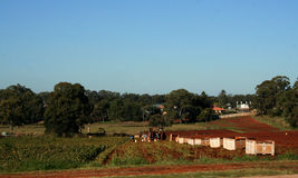 Harvesting. People harvesting in the Redlands, Brisbane, Queensland, Australia Royalty Free Stock Image