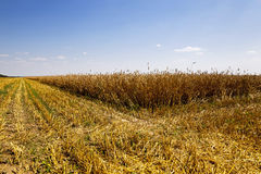 Harvesting. An agricultural field on which carry out wheat cleaning Royalty Free Stock Photo