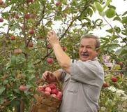 Harvesting a apple. Elderly man, harvesting a apple Royalty Free Stock Photo