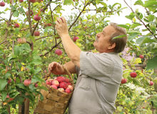 Harvesting a apple. Elderly man, harvesting a apple Royalty Free Stock Image