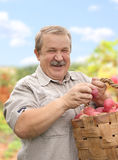 Harvesting a apple Stock Image