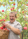 Harvesting a apple. Elderly man, harvesting a apple Stock Image