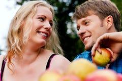 Harvesting apples Royalty Free Stock Image