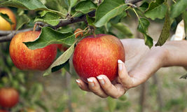 Harvesting of apples Royalty Free Stock Photos