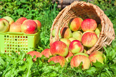 Harvesting of apples in the autumn Royalty Free Stock Photography