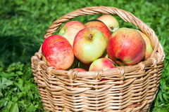 Harvesting of apples in the autumn Stock Image
