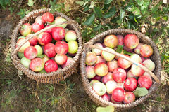 Harvesting. Apples in the garden royalty free stock image
