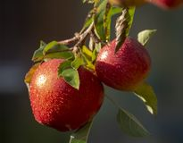 Harvesting apples in garden, autumn harvest season in fruit orchards. Close up stock image