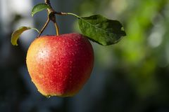 Harvesting apples in garden, autumn harvest season in fruit orchards. Close up stock photos