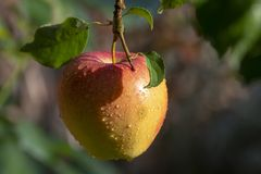 Harvesting apples in garden, autumn harvest season in fruit orchards. Close up royalty free stock image