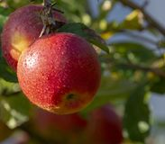 Harvesting apples in garden, autumn harvest season in fruit orchards. Close up stock images