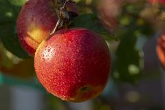 Harvesting apples in garden, autumn harvest season in fruit orchards. Close up stock photography