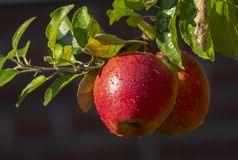 Harvesting apples in garden, autumn harvest season in fruit orchards. Close up royalty free stock photos