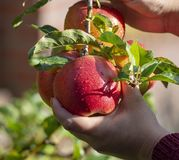 Harvesting apples in garden, autumn harvest season in fruit orchards. Woman hand with apple royalty free stock photos