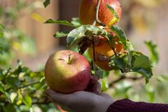 Harvesting apples in garden, autumn harvest season in fruit orchards. Woman hand with apple royalty free stock photo