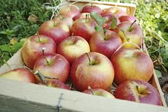 Harvesting apples in garden, autumn harvest season in fruit orchards, wooden box with apples. Harvesting apples in garden, autumn harvest season in fruit stock photos