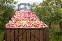 Harvesting of apples in the orchard. Containers with apples. Rustic style, selective focus. Stock Photo