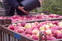Harvesting of apples in the orchard. Containers with apples. Rustic style, selective focus. Royalty Free Stock Photos