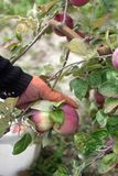Harvesting of apples in the orchard. Hands pull apples from branches. Rustic style, selective focus. Royalty Free Stock Image
