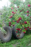 Harvesting of apples in the orchard. Trees with ripe apples and a tractor. Rustic style, selective focus. Stock Images