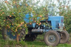 Harvesting of apples in the orchard. Trees with ripe apples and a tractor. Rustic style, selective focus. Stock Photography