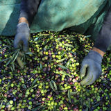 Harvesting arbequina olives in an olive grove in Catalonia, Spai Stock Images