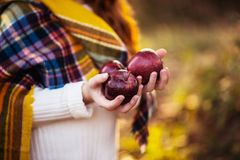 Harvesting. Autumn colours image, little girls hands holding red apples Royalty Free Stock Image