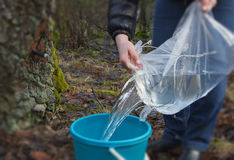 Harvesting of birch sap. Harvesting of birch sap in a spring forest stock image