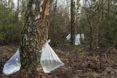 Harvesting of birch sap. Harvesting of birch sap in a spring forest Stock Photo