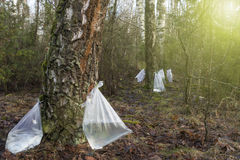 Harvesting of birch sap. Harvesting birch sap in a spring forest in sunny weather stock image