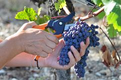 Harvesting in the Bordeaux region in France royalty free stock photos