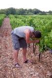 Harvesting Boy. Boy harvesting grape on the vineyard Stock Photo