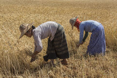 Harvesting - Burmese Agriculture - Myanmar (Burma). Burmese women harvesting a crop of wheat in the countryside near Kalaw in Myanmar (Burma stock photos