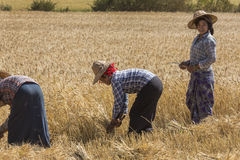 Harvesting - Burmese Agriculture - Myanmar Royalty Free Stock Images