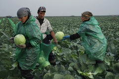 Harvesting of cabbage Royalty Free Stock Image