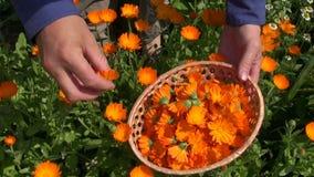 Harvesting  calendula officinalis marigold medical flowers stock video