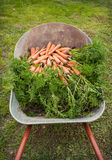 Harvesting campaign. Wheelbarrow with carrots Stock Photos